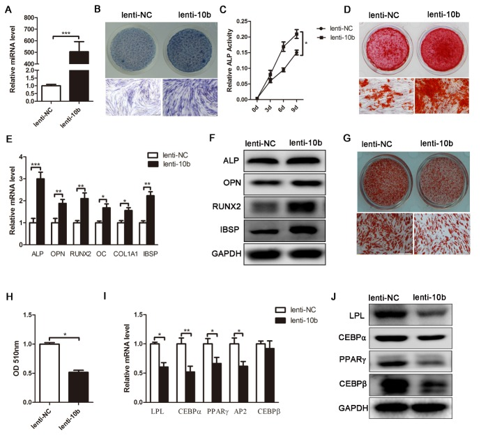 MiR-10b promotes osteogenic differentiation and inhibits adipogenic differentiation of hADSCs. (A) The miR-10b-expressing lentivirus increased the expression of mature miR-10b in hADSCs, analyzed by stem-loop qRT-PCR. (B and C) ALP staining was performed on day 4 and ALP activity was detected during osteogenic differentiation. (D) Alizarin red staining was performed to indicate mineral deposition on day 12. (E and F) Lenti-10b increased the mRNA and protein expression levels of osteogenic-specific markers on day 6 of osteogenic differentiation. (G) Oil red O staining was performed to detect the lipid droplets formation on day 10 of adipogenic differentiation. (H) The dye of oil red O-positive cells was extracted by isopropanol, and the OD value was quantified at 510 nm wavelength. (I and J) Lenti-10b decreased the mRNA and protein expression levels of adipogenic-specific markers. The data, normalized to U6 or GAPDH, are averages of 3 independent experiments (mean ± SD). * P