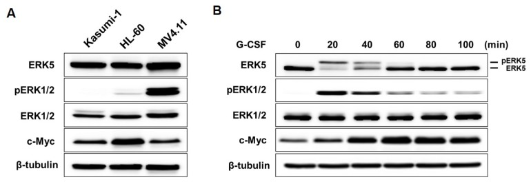Granulocyte colony-stimulating factor (G-CSF) induces the activation of ERK5 in AML cells. (A) The expression levels of ERK5 and ERK1/2 in AML cell lines (Kasumi-1, HL-60, MV4.11) by western blot analysis. (B) The phosphorylation of ERK5 and ERK1/2 in Kasumi-1 cells with the treatment of 10 ng/ml G-CSF.