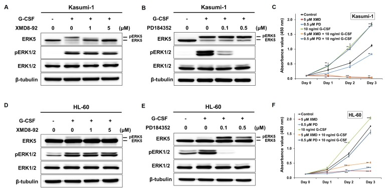 G-CSF-mediated ERK5 activation induces the proliferation of AML cells. (A, D) XMD8-92 suppressed the G-CSF-stimulated phosphorylation of ERK5 but not affected ERK1/2 in Kasumi-1 (A) and HL-60 (D) cells. (B, E) PD184352, as an inhibitor of ERK1/2, was not inhibited the G-CSF-stimulated activation of ERK5 in Kasumi-1 (B) and HL-60 (E) cells. (C, F) The cell proliferation induced by with or without G-CSF was suppressed by the treatment of XMD8-92 in Kasumi-1 (C) and HL-60 (F) cells, respectively. Data were obtained from three replicate experiments for the cell counting kit-8 assay. Data represent mean±SD. **p