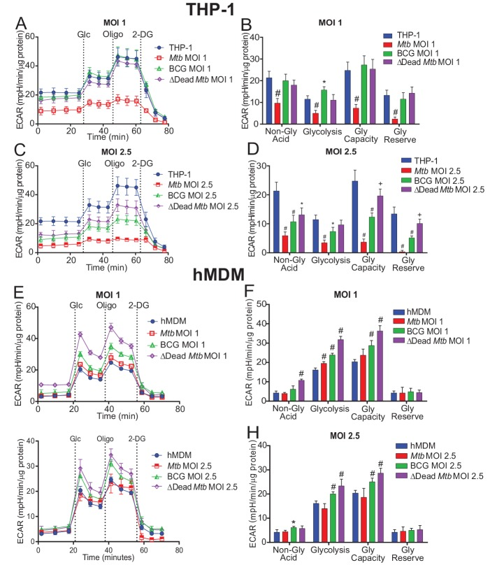 Extracellular acidification profiles and glycolytic parameters of THP-1 and hMDMs are affected by macrophage type, mycobacterial strain and MOI. ECAR profiles and glycolytic parameters of ( A–D ) PMA differentiated THP-1 macrophages, and ( E–H ) hMDMs infected with Mtb , BCG and dead Mtb at MOIs of 1 or 2.5 for 24 h. Profiles and glycolytic parameters are representative of three independent experiments. Data shown are the mean ± SD (n = 6 biological replicates). Student's t test relative to uninfected cells; #, p