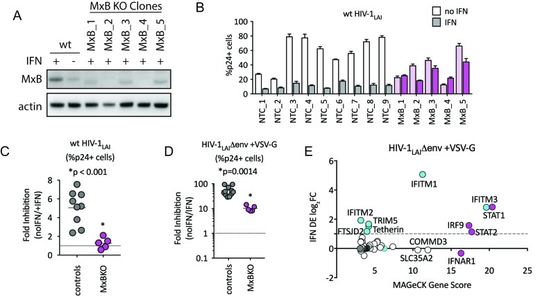 MxB is a dominant, early-acting ISG whose activity is masked by other ISGs when HIV entry is mediated by VSV-G. ( A ) Clonal MxB-KO THP-1 lines generated by transducing with an MxB-targeting sgRNA/lentiCRISPRv2 construct, selection and single-cell sorting. Western blot for MxB expression with and without IFNα stimulation overnight is shown for wild type (wt) THP-1 cells; MxB-KO clones were all IFNα treated overnight. Note: the lower molecular weight band in some lanes results from initiation at an internal Met codon that would not be predicted to have anti-HIV activity ( Goujon et al., 2015 ; Matreyek et al., 2014 ). ( B ) Nine individual clonal THP-1 lines (white/gray bars) along with five clonal THP-1 MxB-KO lines (pink bars) were pre-treated with IFNα overnight and infected with wt HIV-1 LAI . The percentage of cells expressing HIV p24gag was assayed 2 days post-infection by intracellular staining and flow cytometry (n = 3). Light bars = no IFN; Dark bars = overnight IFNα treatment prior to infection. ( C ) The Fold Inhibition (%p24 +cells without IFN/%p24 +cells with IFNα) calculated for each clonal line for wt HIV-1 LAI infections from the data in Panel B. Controls = gray; MxB-KO = magenta. Dotted line at a Fold Inhibition of 1 = no IFN inhibition. ( D ) Individual clonal control THP-1 lines (gray) along with MxB-KO clonal lines (magenta) were infected with VSV-G pseudotyped HIV both with and without IFNα pretreatment (n = 3). Fold Inhibition was calculated as in C. Dotted line: Fold Inhibition of 1 = no IFN inhibition. *p = 0.0014 (unpaired t test). ( E ) The PIKA HIV screen was performed in triplicate in ZAP-KO THP-1 cells. Y-Axis: IFN induction as determined by Differential Expression Analysis of microarray data in THP-1 cells (log 2 FoldChange). X-Axis: MAGeCK Gene Scores for Top 25 Hits. Magenta: IFN pathway genes (IFNAR1, STAT1, STAT2, IRF9). Cyan: highly-IFN induced, high-scoring candidate Hits. White: non-IFN induced genes including ZAP, N4BP1, and SLC35A2. High-scoring genes with no information on IFN induction in THP-1s are plotted as IFN DE log 2 FC = 0 but shown in Cyan with a gray outline. 10.7554/eLife.39823.014 MAGeCK Gene Analysis (Positive) of ZAP-KO THP-1 PIKA HIV HIV-1 LAI /VSVG Screen. pos|score sort: id. num. pos|score. pos|p-value. pos|fdr. pos|rank. pos|goodsgrna. pos|lfc. pos|score(-log10).