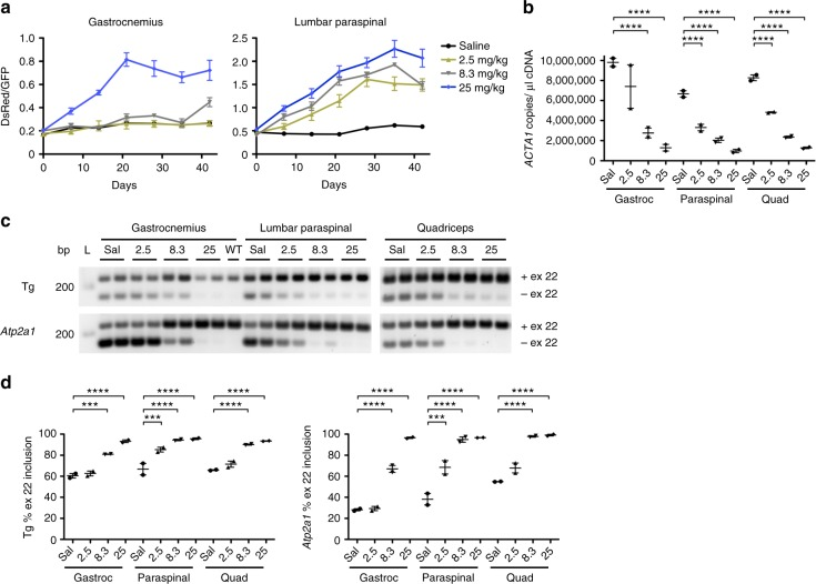 In vivo activity of a novel ligand-conjugated antisense (LICA) oligonucleotide. We treated TR; HSA LR bi-transgenic mice with saline or a novel LICA oligonucleotide, ASO 992948, targeting ACTA1 -CUG exp transcripts and measured DsRed and GFP fluorescence by serial in vivo spectroscopy. LICA-oligo doses were 2.5, 8.3, or 25 mg/kg twice weekly for 4 weeks (8 total doses) by subcutaneous injection ( N = 2 each group). However, due to low DsRed/GFP fluorescence measurements in gastrocnemius muscles, mice receiving the 2.5 mg/kg and 8.3 mg/kg doses received four additional injections over the next 2 weeks, for a total of 12 doses. a Serial DsRed/GFP measurements in gastrocnemius and lumbar paraspinal muscles through Day 42. The final dose in the saline (black circles) and 25 mg/kg groups (blue diamonds) was Day 24, while the final dose in the 2.5 (yellow triangles) and 8.3 mg/kg (gray triangles) groups was Day 37. Error bars indicate mean ± s.e.m. b Quantitation of ACTA1 -CUG exp transcript levels (copies per microliter cDNA) by droplet digital PCR in muscles collected at Day 42. Error bars indicate mean ± s.e.m. **** P
