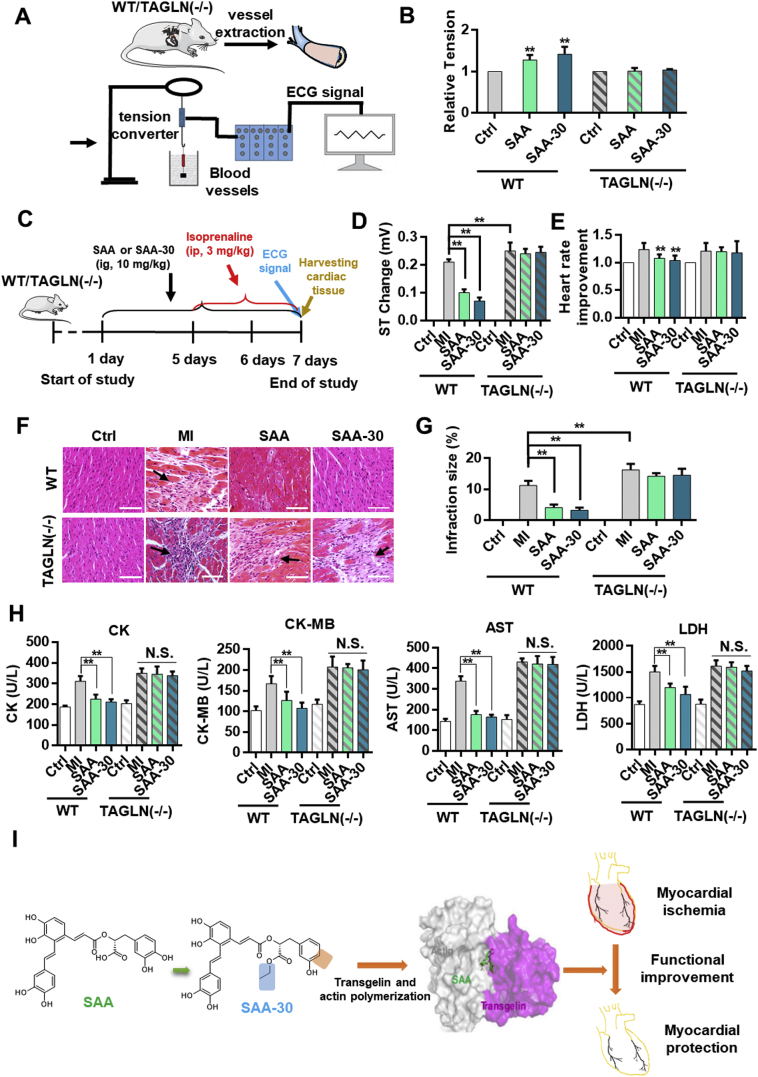 SAA-30 promoted the contractility of vascular smooth muscle cells more than SAA and better achieved myocardial protection than SAA. (A) Overall scheme of muscular tension agonistic effects of SAA and SAA-30 on WT and transgelin (−/−) mice. (B) SAA and SAA-30 enhanced contractile capacities of vascular smooth muscle in isolated vascular smooth muscles of WT mice. (C) Diagram illustrating the generation of the MI model and the treatment schedule. (D) ST changes and (E) heart rate improvements observed in WT and transgelin (−/−) mice after IR injury with or without SAA and SAA-30 treatment. (F) Histopathological changes and (G) infraction sizes observed in MI-injured hearts of WT or transgelin (−/−) mice with or without SAA and SAA-30 administration. (H) Measurement of CK, CK-MB, AST and LDH levels in WT and transgelin (−/−) mice after IR injury with or without SAA and SAA-30. (I) A schematic diagram of SAA and SAA-30 treatments of myocardial ischemia. ⁎ P
