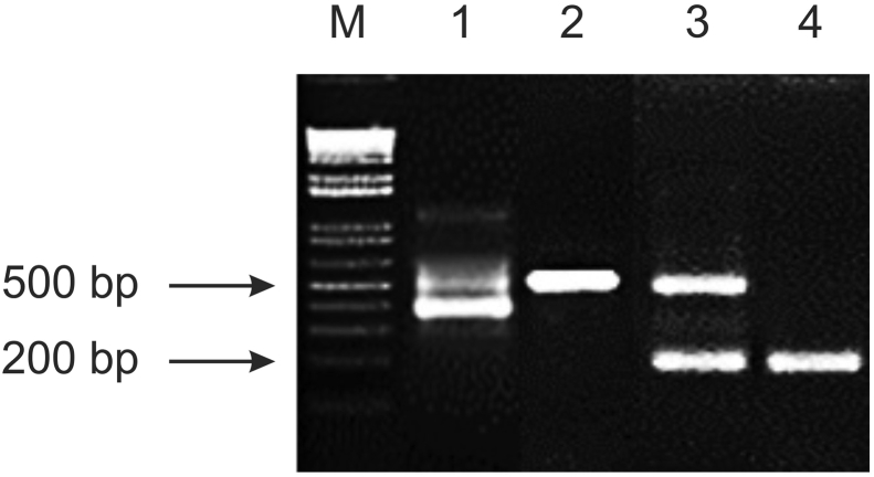 Molecular detection of S. <t>aucheniae</t> DNA by semi-nested PCR. Fragments of S. aucheniae 18S rRNA gene were amplified by semi-nested PCR from DNA samples extracted from a S. aucheniae macrocyst using the protocol described in Martín et al. (2016) (lane 1, amplicon size ∼400 bp) or in the present work (lane 2, amplicon size ∼550 bp). A duplex format of this assay was set up, including primers to amplify a ∼257 bp fragment of Lama <t>glama</t> DNA isolated from blood of llama. Lanes 3 and 4 show a positive and a negative result, respectively. M: 1 kb Plus DNA marker.