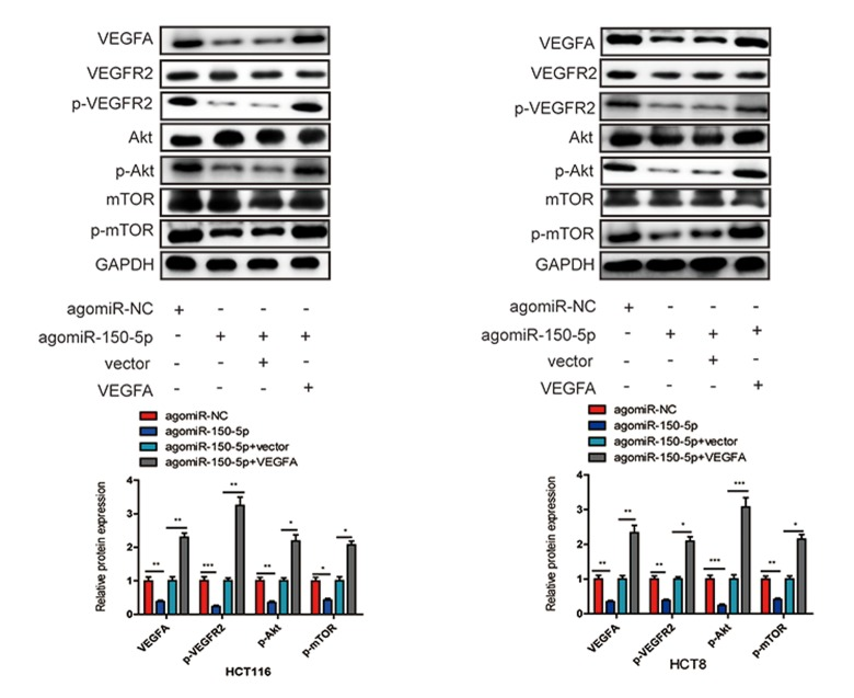 miR-150-5p inhibited VEGFA/VEGFR2/Akt/mTOR signaling pathway in CRC. Western blot was used to measure the expression of VEGFA, VEGFR2, p-VEGFR2, Akt, p-Akt, mTOR, p-mTOR in transfected HCT116 and HCT8 cells. GAPDH was used as a loading control. Data are shown as the mean±SD of three independent experiments. * p