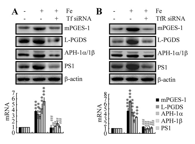 Tf-TfR mediated the effects of Fe on the stimulation of the expression and metabolic activity of mPGES-1 and L-PGDS, which result in the synthesis of APH-1α/1β and PS1 in neurons. n2a cells were treated with Fe (10 μM) in the absence or presence of transfection with Tf or TfR siRNA. The mRNA and protein levels of mPGES-1, L-PGDS, APH-1α/1β and PS1 were determined by qRT-PCR and western blots, respectively. GAPDH and β-actin served as internal controls. The data represent the means±S.E. of all the experiments. ** p