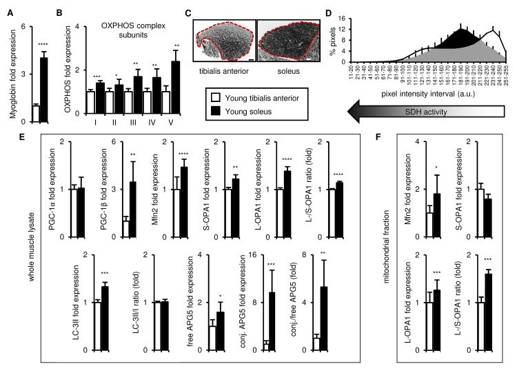 In young mice, the soleus is more oxidative than the tibialis anterior, and expresses higher levels of mitochondrial biogenesis, fission/fusion and autophagy markers. Markers of oxidative metabolism, mitochondrial biogenesis, fission/fusion and autophagy were evaluated in tibialis anterior and soleus muscles from young (3 mo) mice. ( A-B ) Myoglobin and representative electron transport chain enzymes (OXPHOS) in whole muscle lysates were assessed by Western blotting and normalized to Ponceau-stained total protein (see Figure S1 ). The mean plus standard deviation of 3 technical replicates of lysates from 5 mice/group is shown. ( C-D ) Succinate dehydrogenase (SDH i.e. OXPHOS Complex II) activity was assessed by histochemical staining. Representative images are shown (C; tibialis anterior scale bar = 400 µm, soleus scale bar = 200 µm) and the SDH activity of the entire muscle sections (indicated by the red dotted lines i.e. the EDL and gastrocnemius were excluded) was evaluated by assessing pixel intensities (D; mean plus standard deviation of 3 mice/group, 2 sections per mouse). ( E ) PGC-1α, PGC-1β, Mfn2, short (S)- and long (L)-OPA1, LC3-II/I and APG5 in whole muscle lysates were evaluated by Western blotting and normalized to Ponceau-stained total protein (see Figure S1 ). The mean plus standard deviation of 3 technical replicates of lysates from 5 mice/group is shown. ( F ) Mfn2 and OPA1 in mitochondrial fractions were evaluated by Western blotting and normalized to Ponceau-stained total protein (see Figure S1 ). The mean plus standard deviation of lysates from 4 mice/group is shown. *p ≤ 0.05, **p ≤ 0.01, ***p ≤ 0.001, ****p ≤ 0.0001.