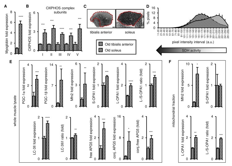 In old mice, the soleus remains more oxidative than the tibialis anterior, and expresses higher levels of mitochondrial biogenesis, fission/fusion and autophagy markers. Markers for oxidative metabolism, mitochondrial biogenesis, fission/fusion and autophagy were evaluated in tibialis anterior and soleus muscles from old mice (28-29 mo). ( A-B ) Myoglobin and representative electron transport chain enzymes (OXPHOS) in whole muscle lysates were assessed by Western blotting and normalized to Ponceau-stained total protein (see Figure S3 ). The mean plus standard deviation of 3 technical replicates of lysates from 4 mice/group is shown. ( C-D ) Succinate dehydrogenase (SDH i.e. OXPHOS Complex II) activity was assessed by histochemical staining. Representative images are shown (C; tibialis anterior scale bar = 400 µm, soleus scale bar = 200 µm) and the SDH activity of the entire muscle sections (indicated by the red dotted lines i.e. the EDL and gastrocnemius were excluded) was evaluated by assessing pixel intensities (D; mean plus standard deviation of 3 mice/group, 2 sections per mouse). ( E ) PGC-1α, PGC-1β, Mfn2, short (S)- and long (L)-OPA1, LC3-II/I and APG5 in whole muscle lysates were evaluated by Western blotting and normalized to Ponceau-stained total protein (see Figure S3 ). The mean plus standard deviation of 3 technical replicates of lysates from 4 mice/group is shown. ( F ) Mfn2 and OPA1 in mitochondrial fractions were evaluated by Western blotting and normalized to Ponceau-stained total protein (see Figure S3 ). The mean plus standard deviation of lysates from 4 mice/group is shown. *p ≤ 0.05, **p ≤ 0.01, ***p ≤ 0.001, ****p ≤ 0.0001.