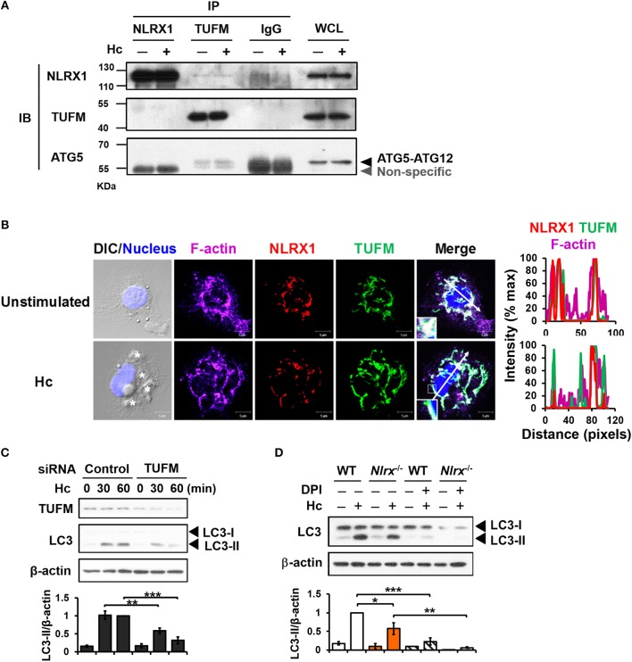 NLRX1 promotes LAP through association with TUFM-ATG5-ATG12 complex. (A) Macrophages from WT mice were stimulated with or without H. capsulatum . Cell lysates were collected at 30 min after stimulation and used for immunoprecipitation with anti-NLRX1, anti-TUFM or isotype control antibodies, followed by immunoblotting with indicated antibodies. IP, IB, and WCL denote immunoprecipitation, immunoblotting, and whole-cell lysate, respectively. (B) Macrophages were stimulated with or without H. capsulatum (MOI = 5) for 60 min. Cells were fixed and stained for NLRX1 (red), TUFM (green), F-actin (violet), and nucleus compartment (blue). Cells were viewed under confocal microscope. Asterisks in the DIC/Nucleus field point to H. capsulatum yeasts. Box areas are shown at higher magnification in the bottom left corner of the corresponding image. The intensity of different fluorochromes along the white arrow in the merged image is shown as histogram on the right. (C) Macrophages from WT mice were transfected with control siRNA or siRNA against TUFM (50 nM) for 72 h. Cells were then stimulated with or without (0 min) H. capsulatum (MOI = 5) for 30 and 60 min. After stimulation, cell lysates were collected and assessed by Western blotting. (D) Macrophages from WT and Nlrx1 −/− mice were treated with or without DPI (5 μM) for 1 h prior to stimulation with H. capsulatum (MOI = 5). Cell lysates were collected after 1 h of stimulation and analyzed by Western blotting. Data shown in the lower panel of (C,D) are relative intensity of LC3-II normalized against the corresponding β-actin, mean ± SEM are shown ( n = 3). * p ≤ 0.05, ** p ≤ 0.01, *** p ≤ 0.001 [ANOVA with Bonferroni's multiple comparisons post-hoc test (C,D) ].