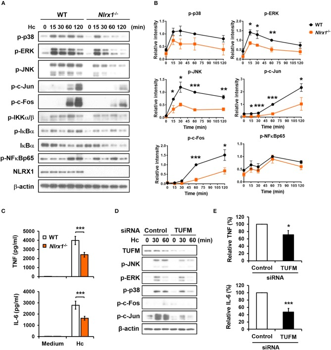 NLRX1-TUFM is required for activation of MAPKs-AP-1 pathway and proinflammatory cytokine response to H. capsulatum . (A–C) Macrophages from WT and Nlrx1 −/− mice were stimulated with or without (0 min or medium) H. capsulatum (MOI = 5). Cell lysates were collected at 15, 30, 60, and 120 min after stimulation and subjected to Western blotting for the analysis of the indicated proteins (A) . Relative intensity of indicated protein normalized against the corresponding β-actin was shown in (B) ( n = 3). Supernatants were harvested at 18 h after stimulation, and the concentrations of TNF and IL-6 in the supernatants were quantified by ELISA ( n = 11) (C) . (D,E) Macrophages from WT mice were transfected with control siRNA or siRNA against TUFM (50 nM) for 72 h. Cells were then stimulated with or without (0 min) H. capsulatum (MOI = 5). Cell lysates were collected at 30 and 60 min after stimulation and assessed by Western blotting for the analysis of the indicated proteins (D) . Supernatants were harvested at 18 h after stimulation, and the concentrations of TNF and IL-6 in the supernatants were quantified by ELISA and are presented as the relative levels of TNF and IL-6 ( n = 6) (E) . Bars represent the mean ± SEM, * p ≤ 0.05, ** p ≤ 0.01, *** p ≤ 0.001 [2-tailed t -test (B,E) ; ANOVA with Bonferroni's multiple comparisons post-hoc test (C) ].