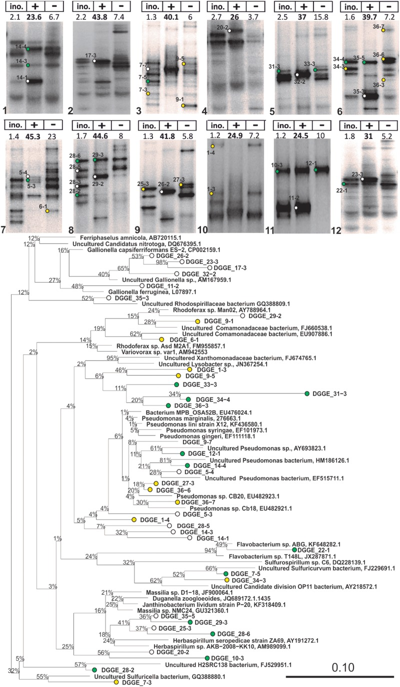 16S rRNA DGGE profiles of advanced IOB enrichments taken from liquid cultures with (+) and without (–) Fe 2+ addition (Step 5 in Figure 2 ) and phylogenetic tree of selected 16S rRNA gene sequences obtained from isolated DGGE bands. The tree was constructed using neighbor-joining method in ARB after 1000 bootstrap iterations. Closely related sequences, with respective GenBank accession numbers, are shown as reference. White, green, and yellow dots are sequences from bands that were solely detected in incubations with Fe 2+ , detected in both incubations with and without Fe 2+ , and solely detected in incubations without Fe 2+ , respectively. Scale bar indicates 10% sequence difference.