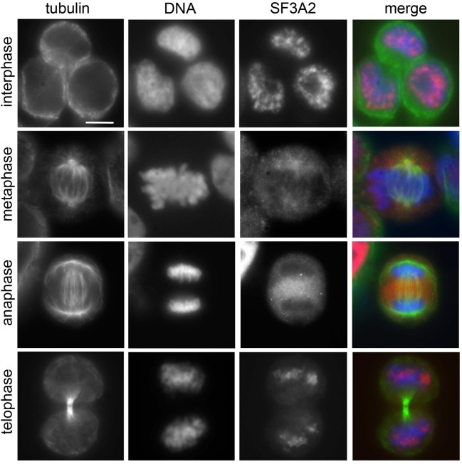 SF3A2 localization in HeLa cells Immunolocalization of SF3A2 (red) during mitosis of HeLa cells stained for tubulin (green) and DNA (blue). Note the nuclear localization of SF3A2 in prophase and late telophase cells. Scale bar, 5 μm.