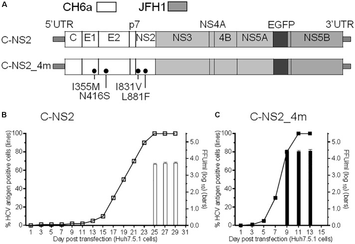 Culture adaptation of CH6a Core-NS2 recombinant identified mutations that enhanced virus production. RNA transcripts of CH6a C-NS2 recombinants (wild-type or with mutations as indicated in panel A ) were transfected into Huh7.5.1 cells, either HCV Core or NS5A-EGFP antigens were detected by immunostaining or directly visualizing under fluorescence microscope, respectively. Percentage of HCV-positive cells was estimated (left y -axis; shown as line plots). HCV infectivity titers in the supernatant at peak of infection (≥80% HCV-positive cells) were determined by focus-forming-unit (FFU) assay [mean of triplicate infections ± standard deviation (SD), right y-axis; shown as bar graphs]. (B) Transfection of wild-type CH6a C-NS2 recombinant. The supernatant of C-NS2 virus collected from days 25 and 27 were inoculated to naïve cells to generate passage virus, and consecutively we generated the fifth- and ninth-passage viruses for sequence analysis (Table 1 ). (C) Transfection of CH6a C-NS2_4m, which contained four mutations (4m, I355M/N416S/I831V/L881F) identified in the C-NS2 virus of the fifth-passage (Table 1 ).
