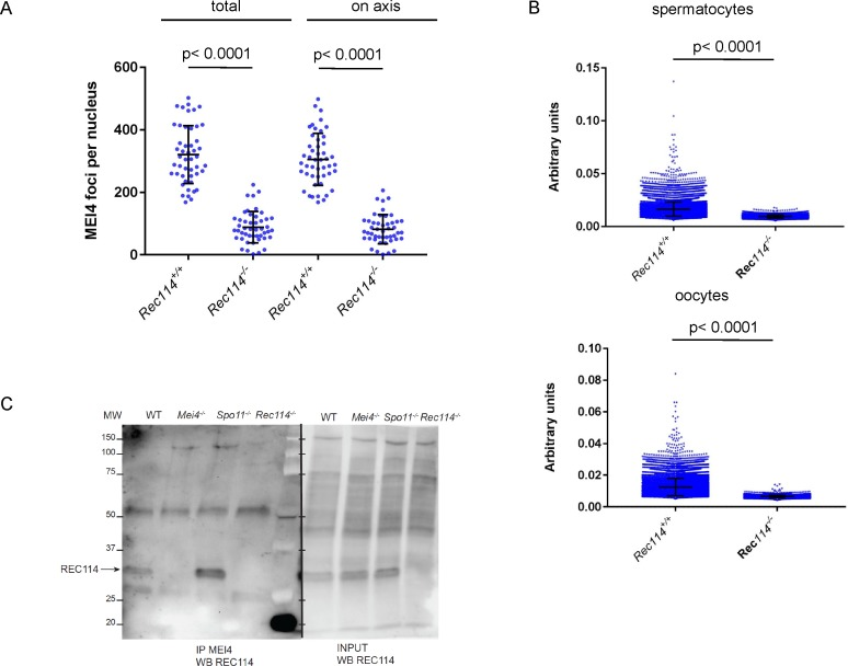 Quantification of MEI4 foci and co-immunoprecipitation with REC114 (A) Quantification of MEI4 foci (mean ± SD) in leptotene oocytes from E15 Rec114 +/+ and Rec114 −/− females. The numbers of total foci and foci on chromosome axis (co-localized with SYCP3) were 321 ± 93 and 305 ± 83 in in Rec114 +/+ and 88 ± 50 and 82 ± 47 in Rec114 −/− oocytes; n = 48 and 47). P values were calculated with the Mann–Whitney two-tailed test. (B) Quantification of intensity (arbitrary units) of axis-associated MEI4 foci (mean ± SD) in leptotene spermatocytes and oocytes from Rec114 +/+ and Rec114 −/− mice: 0.0164 ± 0.0068 and 0.0094 ± 0.0015 in Rec114 +/+ and Rec114 −/− spermatocytes (n = 12,001 and 3,775, respectively) and 0.0125 ± 0.0054 and 0.0066 ± 0.0009 in Rec114 +/+ and Rec114 −/− oocytes (n = 14,661 and 3,853, respectively). P values were calculated with the Mann–Whitney two-tailed test. (C) Detection of REC114 after MEI4 immunoprecipitation. Total testis extracts from 14 dpp Rec114 +/+ (WT), Mei4 −/− , Spo11 −/− , and Rec114 −/− mice were immunoprecipitated with an anti-MEI4 antibody. Input extracts and immunoprecipitated fractions were probed with anti-REC114 antibody.