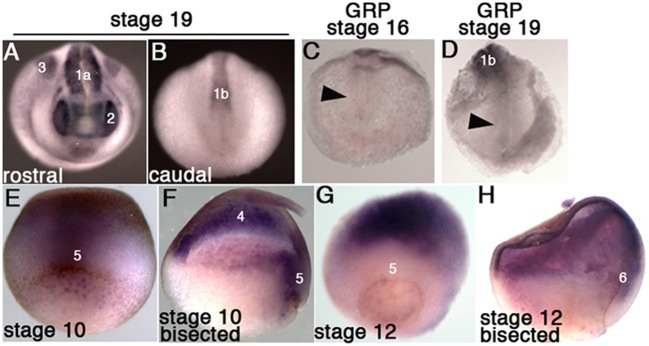 Fgfr4 expression during early X. tropicalis development, detected by in situ hybridization. (A,B) Whole stage 19 embryos; expression is detected in the head region (2: eyes), lateral plate mesoderm (3), anterior somites (1a) and posterior pre-somitic mesoderm (1b). (C,D) Transcripts were not detected in stage 16 and 19 GRPs (arrowheads). (E,F) Stage 10.5 embryos, whole ( E , dorsal view) or bisected through the dorsal midline (F) ; fgfr4 is broadly expressed in the ectoderm (4) and dorsal marginal zone (5). (G,H) Stage 12 embryos, whole ( G , dorso-vegetal view) or bisected (H) ; fgfr4 is absent from the marginal zone (5), but is expressed in the anterior migrating involuted mesoderm (6).