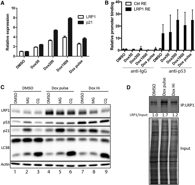 Lethal Dox Suppresses LRP1 Protein Translation through the p53-Regulated miRNAs MiR-103 and MiR-107 (A) HCT116 cells were treated with the indicated dose of Dox (nanomolar) for 24 hr, after which RNA was collected and subjected to qRT-PCR analysis. Data represent at least two biological replicates, each performed in triplicate. (B) HCT116 cells were treated with the indicated dose of Dox for 24 hr, after which cells were subjected to ChIP analysis using anti-p53 antibody and non-specific IgG. Data represent at least two biological replicates, each performed in triplicate. (C) HCT116 cells were treated with the indicated stress for 24 hr, after which vehicle, MG132 (MG), or CQ was added to the cells for an additional 8 hr. After MG or CQ treatment, lysates were collected and subjected to western blot analysis. Data represent at least two biological replicates. (D) HCT116 cells were treated with the indicated course of Dox for 24 hr, after which cells were labeled with 35 S-Met/Cys for 30 min, chased with complete DMEM for another 30 min, and then subjected to LRP1 immunoprecipitation. Data represent at least two biological replicates.
