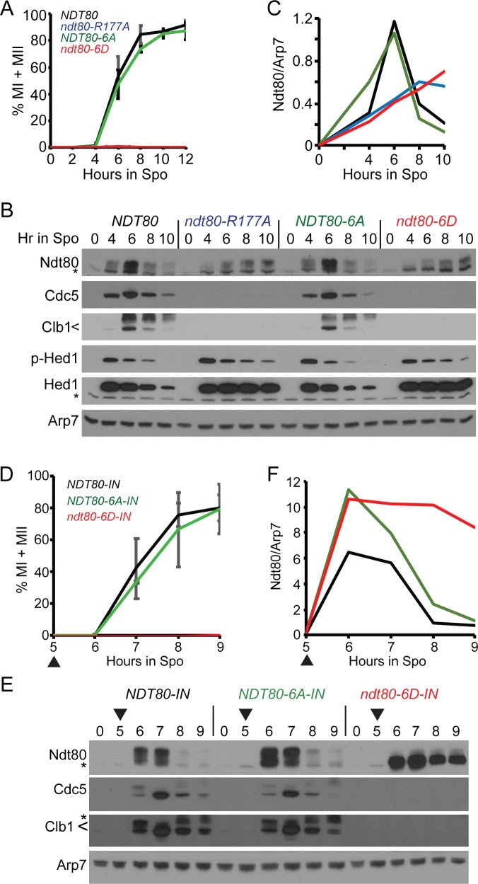Negatively charged mutations in the Ndt80 DNA binding domain constitutively inactivate Ndt80. (A-C) Endogenous NDT80 . (A) Meiotic progression. Cells expressing NDT80 (NH2426::pEP105 2 ::pHL8 2 ), ndt80-R177A (NH2426::pEP105 2 ::pHL8-R177A 2 ), ndt80-6A (NH2426::pEP105 2 ::pNH400 2 ), and ndt80-6D (NH2426::pEP105 2 ::pNH401 2 ) were transferred to Spo medium to induce sporulation. Meiotic progression was determined as described in Fig 3 using three independent timecourses with error bars indicating the standard deviations. (B) Immunoblot analysis of protein extracts from one of the timecourses used in (A). (C) Quantification of Ndt80 signal in (B). Ndt80 was normalized to Arp7 from the same lane on the same gel. The signal from non-specific bands was eliminated by subtracting the Ndt80/Arp7 from 0 hours from each timepoint of the appropriate strain. (D-F) Inducible NDT80 . (D) Meiotic progression. Cells expressing NDT80-IN (NH2426::pEP105 2 ::pBG4 2 ), ndt80-6A-IN (NH2426::pEP105 2 ::pXC11 2 ), and ndt80-6D-IN (NH2426::pEP105 2 ::pXC12 2 ) were transferred to Spo medium and incubated for five hours. NDT80 expression was induced by addition of estradiol (ED) to a final concentration of 1 μM (indicated by arrowheads). Data represent the average values of two experiments with error bars indicating the ranges. (E) Immunoblot analysis of proteins extracts obtained from one of the timecourses used in (D). (F) Ndt80 quantification from (E).