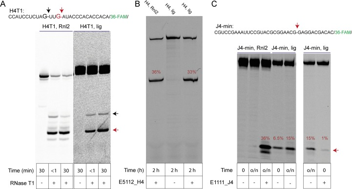 Analysis of regioselectivity of ligation by H4 and J4 RNA motifs. ( A ) Partial RNAse T1 digest of T4-RNA Ligase 2 (Rnl2) ligated H4 (H4T) (Tab S2) and self-ligated H4T RNA. Regiospecific nuclease-catalysed cleavage at the ligation junction confirms that 3'−5' linkages were formed in both ligation reactions. Note that cleavage of self-ligated H4T by RNAse T1 is slower due to the presence of the co-purified splint (H4_splintA) RNA used for in-ice H4T ligation. ( B ) A 3'−5' regioselective 8–17 DNAzyme cleaves a typical self-ligated (H4, lig) or enzymatically ligated (H4, Rnl2) full-length H4 clone from the original semi-random RNA pool at the ligation junction with similar efficiencies. ( C ) A minimal J4 cis motif (J4-min) is unable to cleave an enzymatically produced 3'−5' ligation site (J4-min Rnl2; lane 1, 2; 15 hr, RT, see Material and methods). In contrast, the same Rnl2 product is efficiently cleaved by a custom DNAzyme (lane 3, E1111_J4) under the same conditions. However, J4-min catalyses reverse cleavage of its own gel-purified in-ice ligation product, suggesting that the ligation reaction of J4 yields RNA with a 2'−5' phosphodiester linkage. Rapid initial cleavage of self-ligated J4-min that occurs during the mixing dead time is inhibited after annealing of the J4-min RNA to the E1111_J4 DNAzyme, suggesting that the J4 internal loop is a prerequisite for rapid self-cleavage.