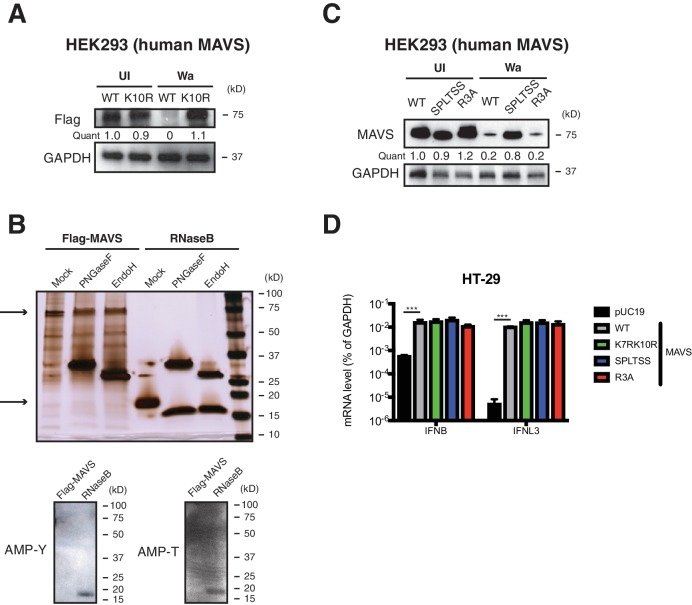 SPLTSS phosphorylation mediates MAVS degradation by RV infection. ( A ) HEK293 cells were transfected with indicated Flag-tagged MAVS mutants for 48 hr with or without human RV Wa infection (MOI = 3) for the last 12 hr. The levels of MAVS and GAPDH were measured by western blot. ( B ) Purified recombinant Flag-MAVS and RNaseB proteins were digested with PNGaseF or EndoH and measured by silver staining (upper panel) and western blot for potential AMPylation (lower panel). Top arrow marks recombinant MAVS protein (~72 kD) and bottom arrow marks recombinant RNaseB protein (~17 kD). ( C ) HEK293 cells were transfected with indicated Flag-tagged MAVS mutants (SPLTSS: SPLTSS mutated to six alanines; R3A: R232, R236, R239 mutated to three alanines) for 48 hr with or without human RV Wa infection (MOI = 3) for the last 12 hr. The levels of MAVS and GAPDH were measured by western blot. ( D ) MAVS -/- HEK293 cells were transfected with WT or indicated MAVS mutants for 48 hr and harvested for RT-qPCR analysis measuring IFN-β and IFN-λ expression. For all figures, experiments were repeated at least three times. Data are represented as mean ± SEM. Statistical significance is determined by Student's t test (*p≤0.05; **p≤0.01; ***p≤0.001).