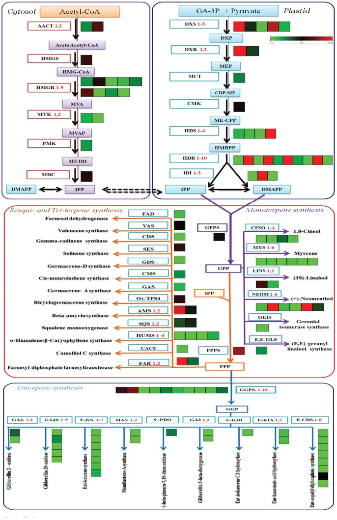 Representative terpenoid biosynthesis pathway with cognate heat maps for transcript levels of genes from S. guaranitica transcriptome data with substrates and products, coloured arrows connect substrates to their corresponding products. Green/red colour-coded heat maps represent relative transcript levels of different terpenoid genes determined by Illumina HiSeq 2000 sequencing; red, up-regulated; green, down-regulated. Transcript levels data represent by FPKM: fragments per kilobase of transcripts per million mapped fragments. MeV, multi-experiment Viewer software was used to depict transcript levels. DXS , 1-deoxy- d -xylulose-5-phosphate synthase; DXR , 1-deoxy- d -xylulose-5-phosphate reductoisomerase; MCT , 2-C-methyl- d -erythritol 4-phosphate cytidylyltransferase; ISPF , 2-C-methyl- d -erythritol 2, 4-cyclodiphos-phate synthase; HDS , (E)-4-hydroxy-3-methylbut-2-enyl-diphosphate synthase; HDR , 4-hydroxy-3-methylbut-2-enyl diphosphate reductases; IDI , isopentenyl-diphosphate delta isomerase; AACT , acetyl-CoA C-acetyl transferase; HMGS , hydroxyl methyl glutaryl-CoA synthase; HMGR , hydroxymethyl glutaryl-CoA reductase (NADPH); MVK , mevalonate kinase; PMK , phospho-mevalonate kinase; GPPS , geranyl diphosphate synthase; FPPS , farnesyl pyrophosphate synthase; GGPS , geranylgeranyl diphosphate synthase, type II; CINS , 1,8-cineole synthase; MYS , myrcene/ocimene synthase; LINS , (3S)-linalool synthase; NEOM , (+)-neomenthol dehydrogenase; SABI , (+)-sabinene synthase; TPS6 , (-)-germacrene d synthase; AMS , beta-amyrin synthase; FARNESOL , farnesol dehydrogenase; SEQ , squalene monooxygenase; HUMS , α-humulene/β-caryophyllene synthase; FAR , farnesyl-diphosphate farnesyltransferase; GA2 , gibberellin 2-oxidase; GA20 , gibberellin 20-oxidase; E-KS , ent-kaurene synthase; MAS , momilactone-A synthase; GA3 , gibberellin 3-beta-dioxygenase; E-KIA , ent-iso-kaurene C2-hydroxylase; E-KIH , ent-kaurenoic acid hydroxylase; E-CDS , ent-copalyl diphosphate synthase.
