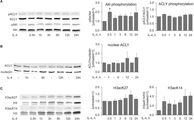 IL-4 does not induce ACLY phosphorylation in human MDMs. (A–C) Western blot analysis of ACLY and Akt phosphorylation (A) , nuclear ACLY levels (B) , and histone H3 acetylation at K27 and K14 (C) in MDMs treated with 20 ng/mL IL-4 for indicated times. Data represent mean values ± SE of 3–4 independent experiments. * p