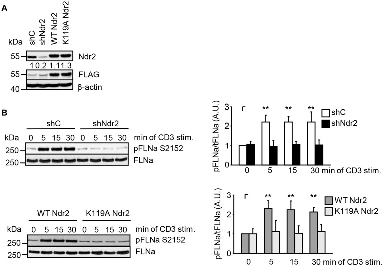 Ndr2 phosphorylates FLNa at S2152 in Jurkat T cells in vivo . (A) Jurkat T cells were transfected with suppression/re-expression constructs which suppress endogenous Ndr2 (shNdr2) and re-express a FLAG-tagged shRNA-resistant wild type (WT Ndr2) or a kinase-dead mutant of Ndr2 (K119A Ndr2). Numbers represent the reduction and re-expression of Ndr2 and its mutant after normalization to the Ndr2 expression level of the shC-tranfected control cells. (B) At 48 h post-transfection, cells left untreated or stimulated for the indicated time points with CD3 antibodies. Cells were lysed and analyzed by Western Blotting with the indicated antibodies. Densitrometric quantification of FLNa phosphorylation at Serine 2152 (pFLNa) normalized to total FLNa (tFLNa) ( n = 3). (mean ± SEM; ** p ≤ 0.05).