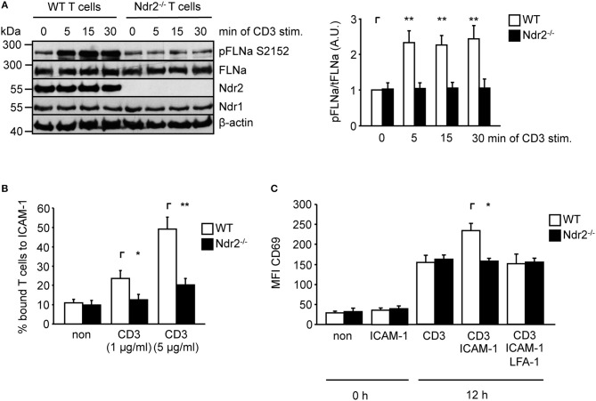 Ndr2-deficiency in murine CD4 + T cells attenuates TCR-induced FLNa phosphorylation at S2152, T-cell adhesion and LFA-1-dependent upregulation of CD69 in vitro . (A) Purified splenic wild type (WT) and Ndr2 −/− CD4 + T cells were left untreated or stimulated with anti-CD3 antibodies for the indicated time points. Lysates were prepared and analyzed by Western blotting using the indicated antibodies. Densitrometric quantification of FLNa phosphorylation at Serine 2152 (pFLNa) normalized to total FLNa (tFLNa) ( n = 3). (B) Purified splenic WT and Ndr2 −/− CD4 + T cells were left untreated (non) or stimulated with anti-CD3 antibodies (CD3) and subsequently analyzed for their ability to bind plate-bound Fc-ICAM-1. Adherent cells were counted and calculated as percentage of input ( n = 3). (C) Purified splenic CD4 + T cells from WT and Ndr2 mice were cultured with plate-bound anti-CD3 antibodies (CD3) in the absence or presence of Fc-ICAM-1 (ICAM-1) with or without blocking LFA-1 antibodies (LFA-1) for 12 h. The upregulation of the activation marker CD69 of unstimulated (0 h) or activated T cells (12 h) were assessed by flow cytometry to determine the mean fluorescence intensity (MFI) ( n = 3). (mean ± SEM; * p ≤ 0.05, ** p ≤ 0.01).