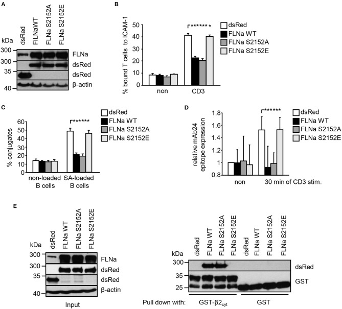 Mutation of S2152A within FLNa abolishes TCR-mediated T-cell adhesion, interaction with APCs and LFA-1 activation. (A) Jurkat T cells were transiently transfected with dsRed C1 vector (dsRed) or plasmids encoding wild type (WT) dsRed-tagged FLNa (FLNa WT) or dsRed-tagged S2152A or dsRed-tagged S2152E FLNa mutants (FLNa S215A and FLNa S2152E). After 24 h the expression of WT and its mutants were analyzed by anti-dsRed and FLNa immunoblotting. Detection of β-actin served as loading control. (B) Jurkat T cells transfected as described in (A) were left untreated (non) or stimulated for 30 min with CD3 antibodies. Cells were analyzed for adhesion to ICAM-1-coated 96 well plates. Bound cells were counted and calculated as percentage of input ( n = 4) (mean ± SEM; * p ≤ 0.05, *** p ≤ 0.001). (C) Cells were transfected as described in (A) and analyzed for their ability to form conjugates with DDAO-SE (red)-stained Raji B cells that were pulsed without (non) or with superantigen (SA) for 30 min at 37°C. The percentage of conjugates was defined as the number of double-positive events in the upper right quadrant ( n = 4) (mean ± SEM; *** p ≤ 0.001). (D) Jurkat T cells transfected as described in (A) were left untreated (non) or stimulated with anti-CD3 antibodies (CD3), followed by staining with the anti-LFA-1 antibody mAb24 to detect the high affinity conformation of LFA-1. mAb24 epitope expression was assessed by flow cytometry and data are normalized against LFA-1 expression detected by MEM48 ( n = 4) (mean ± SEM; *** p ≤ 0.001). (E) HEK 293T cells were transfected with either dsRed, dsRed-tagged FLNa wild type (FLAa WT) or its mutants (FLNa S2152A and FLNa S2152E). 24 h after transfection, whole cell extracts were prepared and analyzed for the expression of dsRed and dsRed-tagged FLNa forms by Western blotting using the indicated antibodies (left panel). Lysates were incubated with GST-fusion proteins bound to glutathione-sepharose beads. Precipitates were analyzed by Western blotting using the indicated antibodies (right panel). One representative experiment of 3 is shown. (mean ± SEM; * p ≤ 0.05, *** p ≤ 0.001).