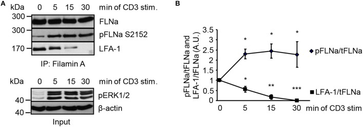 TCR-stimulation of Jurkat T cells releases LFA-1 from FLNa. (A) Jurkat T cells were left untreated or stimulated for the indicated time points with CD3 antibodies. Lysates were prepared and used for immunoprecipitation of FLNa. Precipitates were analyzed by Western blotting for the phosphorylation status of FLNa at S2152 and LFA-1 association. Aliquots of whole-cell extracts were analyzed for the phosphorylation status of ERK1/2 to verify successful stimulation of T cells (lower panel; Input). (B) Densitrometric analysis of the FLNa phosphorylation status at Serine 2152 (pFLNa) normalized to precipitated total FLNa (tFLNa) or of LFA-1 to precipitated total FLNa (tFLNa) ( n = 4). (mean ± SEM; * p ≤ 0.05, ** p ≤ 0.01, *** p ≤ 0.001).