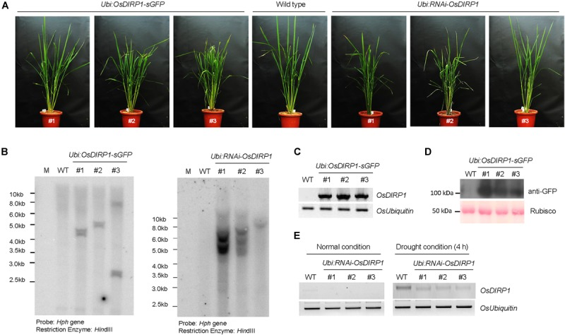 Molecular characterization of OsDIRP1- overexpressing and RNAi -mediated knock-down transgenic rice plants. (A) Morphology of 2-month-old wild-type (WT), T4 Ubi:OsDIRP1-sGFP , and T4 Ubi:RNAi-OsDIRP1 rice plants grown under long-day conditions (16 h light and 8 h dark). (B) Genomic Southern blot analysis. Total leaf genomic DNA was isolated from wild-type (WT), T4 Ubi:OsDIRP1-sGFP (lines #1, #2, and #3), and T4 Ubi:RNAi-OsDIRP1 (lines #1, #2, and #3) rice plants. The DNA was digested with Hin dIII and hybridized to a 32 P-labeled hygromycin B phosphotransferase ( Hph ) probe under high stringency conditions. (C) <t>RT-PCR</t> analysis of the wild-type (WT) and T4 Ubi:OsDIRP1-sGFP (independent lines #1, #2, and #3) transgenic rice plants to examine OsDIRP1 transcript levels. OsUbiquitin was used as a loading control. (D) Immunoblot analysis of wild-type (WT) and T4 Ubi:OsDIRP1-sGFP plants. Total proteins were isolated using 2x SDS sample buffer and immunoblotted with anti-GFP antibody. Rubisco was used as an equal loading control. (E) RT-PCR analysis of the wild-type (WT) and T4 Ubi:RNAi-OsDIRP1 plants. <t>RNA</t> was isolated from whole seedlings of non-drought-treated (0 h) and drought-treated (4 h) wild-type (WT) and Ubi:RNAi-OsDIRP1 (lines #1, #2, and #3) plants. OsUbiquitin was used as a loading control.