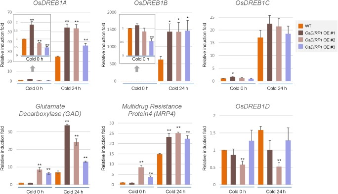 Expression analysis of cold stress-inducible genes in wild-type and OsDIRP1 -overexpressing transgenic rice plants. Light-grown, 10-day-old wild-type and Ubi:OsDIRP1-sGFP transgenic plants were exposed to cold (4°C) stress for 0 or 24 h. The induction patterns of five stress-responsive genes, OsDREB1A, OsDREB1B, OsDREB1D, GAD , and MRP4 , were analyzed by real-time qRT-PCR. The relative expression of each gene was normalized to that of OsActin . Data are means ± SE ( ∗ P