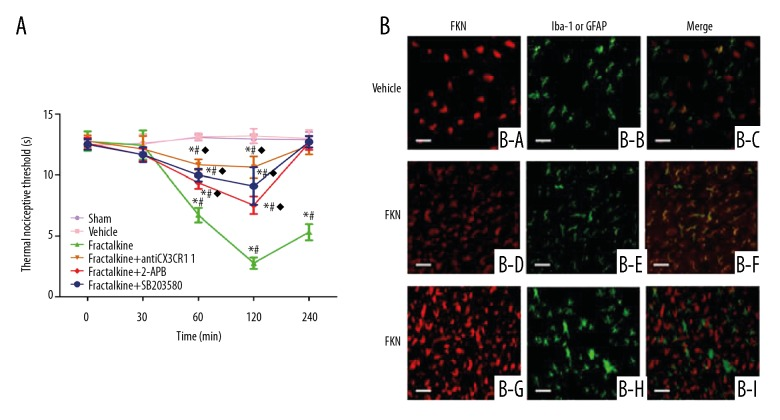 Fractalkine injection lead to thermal hyperalgesia and activated microglia in vivo . ( A ) The thermal nociceptive threshold of mice after receiving fractalkine, 2-APB, antiCX3CR1, and SB203580. ( B ) The immunofluorescence of FKN (fractalkine), Iba-1, and GFAP in mice brain tissues without or with fractalkine. * P