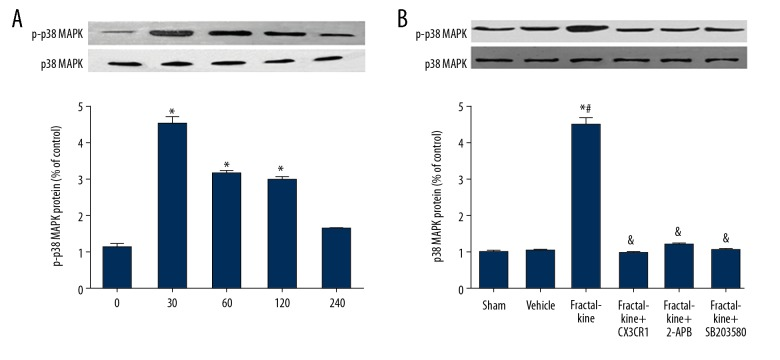 Fractalkine upregulated p-p38MAPK protein in vivo. ( A ) The p-p38MAPK protein was increased after treatment with fractalkine. ( B ) The p-p38MAPK protein was attenuated by pretreatment with anti-CX3CR1, 2-APB, and SB203580. * P
