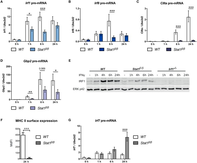 Transcriptional activity of STAT1β at the Irf1, Irf8, CIIta, Gbp2 , and Irf7 genes. BMDMs from WT and Stat1 β/β mice were stimulated with IFNγ for the times indicated or left untreated (0 h, -). Total RNA (A–D, G) or protein extracts (E) were isolated. Irf1 (A) , Irf8 (B) , CIIta (C) , Gbp2 (D) , and Irf7 (G) pre-mRNA expression was determined by RT-qPCR. Data were normalized to the housekeeping gene Ube2d2 . Mean values ± SE from three independent experiments are shown. (E) IRF1 protein levels were determined by Western blotting. ERK p42 was used as loading control. Data are as representative of two independent experiments. Original uncropped blots are shown in Supplementary Figure 1 . (F) BMDMs from WT and Stat1 β/β mice were stimulated with IFNγ for 24 h. MHC class II surface levels were determined by flow cytometry. Median fluorescence intensities (MdFI) ±standard error (SE) from two independent experiments are shown. (A–D, F–G) * P ≤ 0.05 , ** P ≤ 0.01 , *** P ≤ 0.001 . Significances are only indicated for the comparisons between genotypes.