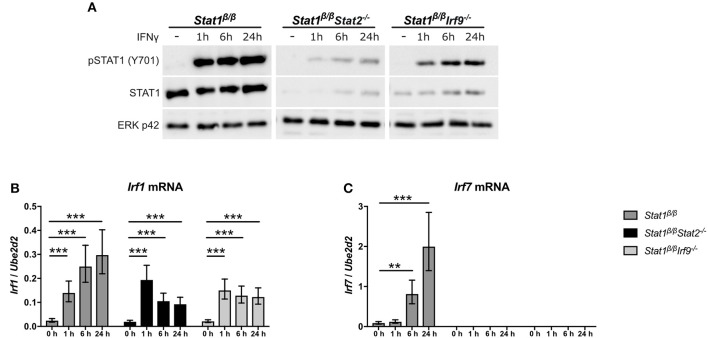 IFNγ induced expression of Irf1 and Irf7 in Stat1 β/β cells in the absence of STAT2 or IRF9. BMDMs derived from Stat1 β/β , Stat1 β/β Stat2 −/− and Stat1 β/β Irf9 −/− mice were stimulated with IFNγ for the times indicated or left untreated (0 h, -). (A) Protein was isolated and Tyr701-phosphorylated STAT1 (pSTAT1) and STAT1 protein levels determined by Western blotting. ERK p42 was used as loading control. One representative out of three independent experiments is shown. Original uncropped blots are shown in Supplementary Figure 2 . (B,C) Total RNA was isolated and Irf1 (B) and Irf7 (C) mRNA expression was determined by RT-qPCR. Data were normalized to Ube2d2 . Mean values ± SE from three (C) or four (B) independent experiments are shown. * P ≤ 0.05 , ** P ≤ 0.01 , *** P ≤ 0.001 . Significances are only indicated for the comparisons between genotypes.
