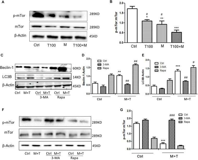 HIV-Tat and METH induce neuronal cells autophagy via the mTOR pathway. (A,B) The abundance of p-mTOR and non-phosphorylated form of mTOR protein were detected in the HIV-Tat (T100, 100 nM) and/or METH (M, 0.5 mM)-treated cells for 24 h. The β-Actin-normalized p-mTOR protein expression level was analyzed using Western blot and quantified by Image J software, with bars showing the means and individual data points of each column. Representative blot images were shown. ∗ p ≤ 0.05, ∗∗ p ≤ 0.01, ∗∗∗ p ≤ 0.001, compared to the saline-paired controls (Ctrl); # p ≤ 0.05, compared to the T100+M. The data were presented as mean ± S.D. N = 3 biological replicates per group. (C–G) After the cells were treated with or without 3-MA (50 μm) or Rapa (10 nM) and then treated with METH (M, 0.5 mM) + HIV-Tat (T100, 100 nM) or not for 24 h, the levels of Beclin-1 (C,D) LC3B ( C,E), and p-mTOR (F,G) were detected by Western blot and quantified by Image J software, with bars showing the means and individual data points of each column. Representative blot images were shown. ∗∗ p ≤ 0.01, ∗∗∗ p ≤ 0.001, compared to the saline-paired controls (Ctrl); # p ≤ 0.05, ## p ≤ 0.01, ### p ≤ 0.001, compared to the combined treatment of HIV-Tat and METH. The data were presented as mean ± S.D. N = 3 biological replicates per group.