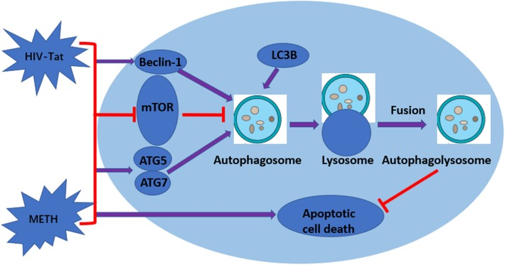 Graphical summary. METH induces autophagy among primary midbrain neuronal cells and that HIV-Tat synergistically enhances the level of autophagy.