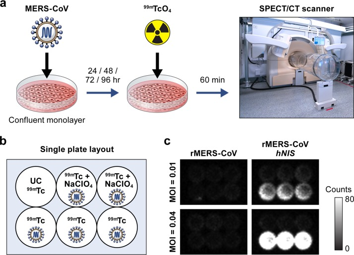 Radio-uptake of 99m Tc-pertechnetate by planar scintigraphy. (a) Experimental overview of in vitro evaluation of the rMERS-CoV/ hNIS virus. Vero E6 cells were infected with rMERS-CoV or rMERS-CoV/ hNIS at an MOI of 0.01 or 0.04. At various time points postinfection, the cells were incubated with 99m Tc-pertechnetate, and images of the plates were acquired. (b) Plate layout for hNIS functional assays. (c) Representative images of the plates acquired at 24 h postinfection at an MOI of 0.01 (top plates) or 0.04 (bottom plates) after incubation with 99m Tc-pertechnetate.