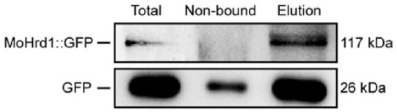 Western blots of total proteins (total) and proteins eluted (elution) from the anti-GFP agarose beads from the wild type constitutively expressing GFP and transformant expressing MoHrd1::GFP were probed with the anti-GFP (GFP-Tag 7G9 Mouse mAb; Abmart, Shanghai, China) antibody. GFP indicates green fluorescent protein.
