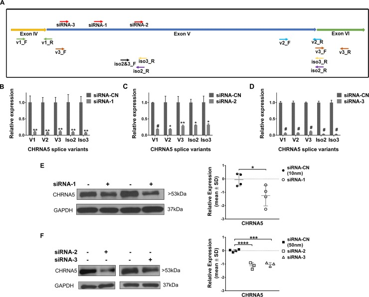 Downregulation of CHRNA5 expression by RNAi. A. Schematic representation of target sites of siRNA molecules and primers for CHRNA5 isoforms. B-D. Downregulation of CHRNA5 isoforms in MCF7 cells upon transient transfection with siRNA-1 (10nM) (B), siRNA-2 (50nM) (C), and siRNA-3 (50nM) (D) in comparison with the corresponding siRNA-CN at 72h of treatment (n = 2 per group). Student's t-test was applied. E-F. Depletion of CHRNA5 expression at protein level (Western Blotting together with densitometry analyses, loading control, GAPDH) with siRNA-1 (10nM) (n = 4 per group; Student's t-test) (E), siRNA-2 and siRNA-3 (n = 4 for siRNA-CN; n = 3 for siRNA-2 and siRNA-3; One-Way ANOVA followed by Tukey's HSD tests) (F). (*: p