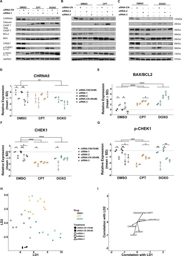 The effect of CHRNA5 siRNA in drug sensitivity. A-C. Western blot results in DMSO, CPT (0.125μM), and DOXO (0.125μM) treated MCF7 cells in the absence or presence of siRNA-1 (A) , siRNA-2, (B) and siRNA-3, (C). D-G. Two-Way ANOVA of densitometry measurements for CHRNA5 (D), BAX/BCL2 (E) , CHEK1 (F) , pCHEK1 (G) . H . DFA of densitometry measurements for control and treatment groups in A-C. I. Vector weights of variables and their correlation with LD1 and LD2 of DFA analysis. (n = 3 for DMSO siRNA-CN (50nM) and siRNA-2 and -3; n = 2 for other groups). (+: p