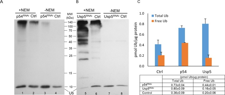 Effect of loss of Rpn10/p54 (A and C) proteasome subunit or Usp5 deubiquitylase (B and C) on the abundance of ubiquitin forms. Whole protein extracts in buffer F (lanes 1, 2, 5 and 6; +NEM) and buffer T (lanes 3, 4, 7 and 8; -NEM) of wandering L3 larvae were investigated by western blotting using polyclonal anti-Ub antibody at a dilution of 1:1000. The bands just below the 10 kDa mark on the immunoblots (A and B) represent free monoubiquitins, and only the intensity of these bands were determined and used for quantification. 5 μg total protein extracts were loaded to lanes 2 and 6, while samples were diluted 1.7-fold to lanes 1 and 5; twofold to lanes 3, 4 and 8; and 3.3-fold to lane 7 before loading to avoid overloading the monoubiquitin band. Ubiquitin content (small table in C) was calculated by plotting band intensities against Ub standards and a regression line equation was generated by applying the four parameter curve fit model (R 2 = 0.9979 for Rpn10/p54 and R 2 = 0.9933 for Usp5), values were normalized to total protein content and shown as a column diagram.