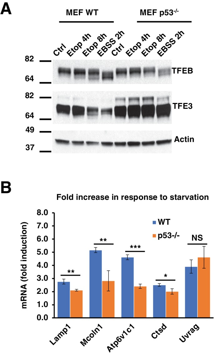 ( A ) Representative Western blot showing TFEB and TFE3 gel shifts in response to etoposide in WT MEF, but not in p53 -/- MEF. All the immunoblots are representative of three independent experiments. ( B ) qPCR data showing relative induction of lysosomal-autophagy genes in response to starvation in WT and p53 -/- MEF. Data normalized to untreated cells and represents geometric means ± standard deviation and significance determined with Student's t-test (*p
