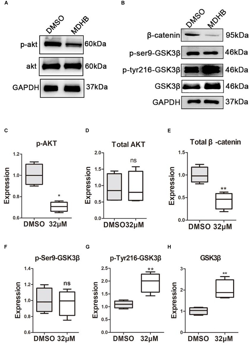 The effect of MDHB on AKT, GSK3β and β-catenin. MDHB inhibited phosphorylation of AKT in the differentiation of neural stem cells, activated phosphorylation of GSK3β at tyrosine 216 (Y216), and downregulated transcription factor β-catenin. (A,B) Western blot analyses of proteins extracted from MDHB-treated neural stem cell in differentiation, (C–H) quantification of protein blots is shown, GAPDH serves as protein loading control. Each point represents the mean relative protein level of each group ( ∗ P