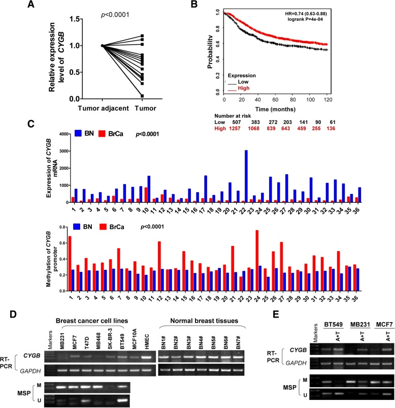 Expression and methylation of CYGB in breast cancer. a Quantitative reverse transcription-polymerase chain reaction (qRT-PCR) analysis of CYGB mRNA expression in breast tumor tissue samples and paired tumor adjacent tissue samples. b Low CYGB expression is correlated with poor ten-year relapse-free survival (RFS) in breast cancer patients. Prognosis data was acquired and analyzed using the Kaplan-Meier Plotter database ( www.kmplot.com/analysis/index. php?p=service cancer=breast ). c CYGB mRNA expression and promoter methylation in paired breast cancer tissue samples and non-cancerous breast tissue samples of 36 patients from The Cancer Genome Atlas (TCGA). The data were accessed through cBioPortal ( http://www.cbioportal.org /). d RT-PCR and MSP analyses of CYGB mRNA expression and promoter methylation in breast cancer cell lines. Non-tumorigenic mammary epithelial cell lines MCF10A and HMEC as well as normal breast tissue samples were used as controls. GAPDH was detected as an input control. e RT-PCR and MSP indicate demethylation by Aza and TSA (A + T) restored CYGB expression in BT549, MB231, MCF7 cells. GAPDH was detected as an input control. Aza: 5-aza-2′-deoxycytidine; BN: breast normal tissue; BrCa: breast cancer tissue; M: methylated; MSP: methylation-specific polymerase chain reaction; RT-PCR: reverse transcription-polymerase chain reaction; U: unmethylated