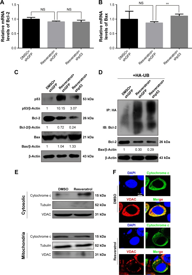Effect of resveratrol involved in degradation of Bcl-2 and release of cytochrome c in human melanoma cells. Notes: ( A and B ) shGFP- or shp53-transduced MV3 cells were treated with or without resveratrol (200 μM, 48 hours). A qRT-PCR was performed to examine mRNA levels of Bcl-2 and Bax. All data were shown as the mean ± SD, ** P