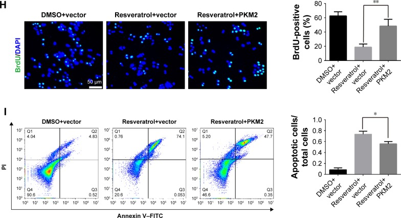 PKM2 interacted with Bcl-2 and resisted resveratrol-induced apoptosis in human melanoma cells. Notes: ( A ) Western blots showing the expression of <t>p-ERK1/2,</t> ERK1/2, PKM2, and Bcl-2 in MV3 cells after treating with 200 μM resveratrol for 48 hours. ( B ) RNA was extracted from MV3 cells after treating with 200 μM resveratrol for 48 hours and qPCR was performed using indicated primers for analysis of PKM2 . All data were shown as the means ± SD, * P