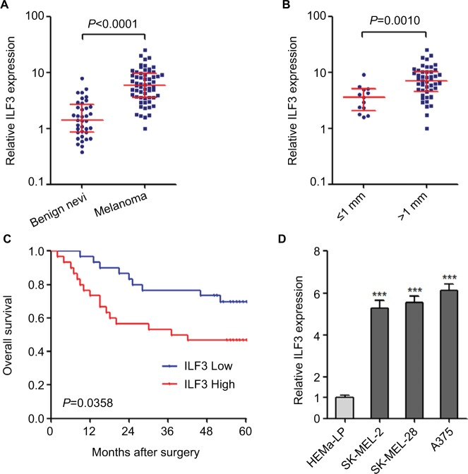 ILF3 is increased in melanoma and correlated with poor prognosis. Notes: ( A ) ILF3 expression levels in 37 benign nevi and 60 primary melanoma tissues were determined by qRT-PCR. Results are presented as median with IQR; P
