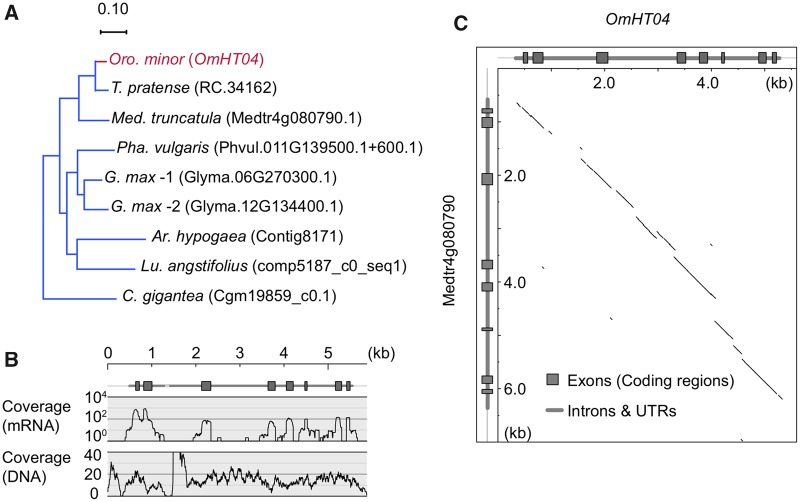 —Exon–intron structure revealed by genomic DNA sequences. OmHT04 is used as an example. ( A ) Gene tree. ( B ) The coverage of short-reads of Illumina <t>HiSeq2000</t> sequencing along OmHT04 . ( C ) Dotplot of comparison between OmHT04 and its homolog from Medicago truncatula .