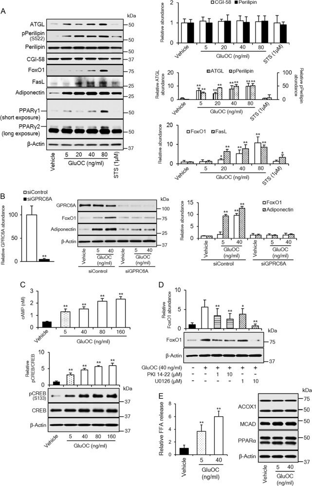 Role of GPRC6A signaling in high-dose GluOC action in 3T3-L1 adipocytes. a Cells were incubated with the indicated concentrations of GluOC or 1 μM staurosporine for 6 h, lysed, and subjected to immunoblot analysis of ATGL, total or Ser 522 -phosphorylated (p) forms of perilipin, CGI-58, FoxO1, FasL, adiponectin, and PPARγ. A representative blot, as well as quantitative data (means + SEM, normalized by the amount of β-actin or, in the case of phospho-perilipin, by the amount of total perilipin) from three independent experiments are shown. * p